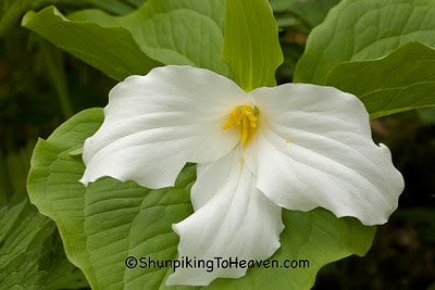 Great White Trillium, Dane County, Wisconsin