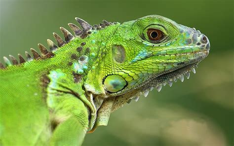 American Lizard Green Iguana Animals Of Group Reptiles Wallpaper Hd 1920x1200 : Wallpapers13.com