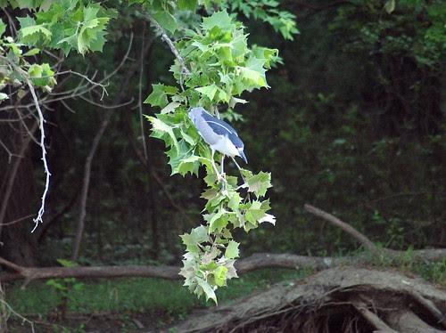 Black-Crowned Night Heron by David P James