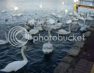 Thames swans