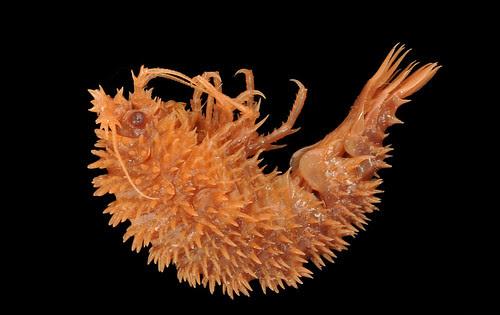 Acanthonotozomatidae