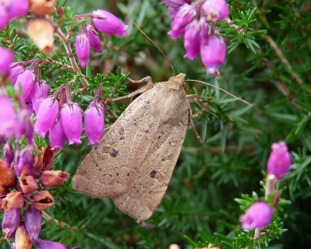 24991 - Lesser Yellow Underwing