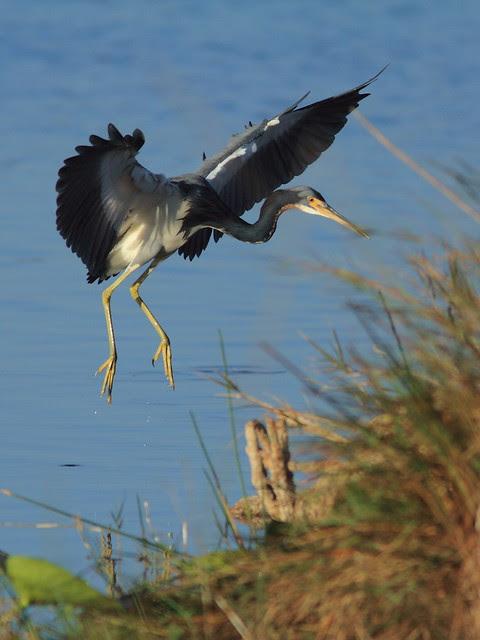 Tricolored Heron landing 20121201