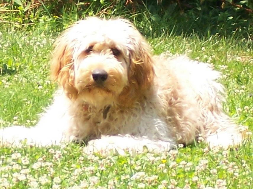 goldendoodle puppy pictures. F1b Goldendoodle puppy puppies
