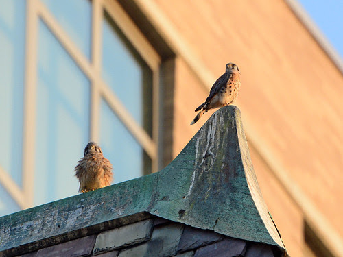 Cathedral Kestrels 1 & 2