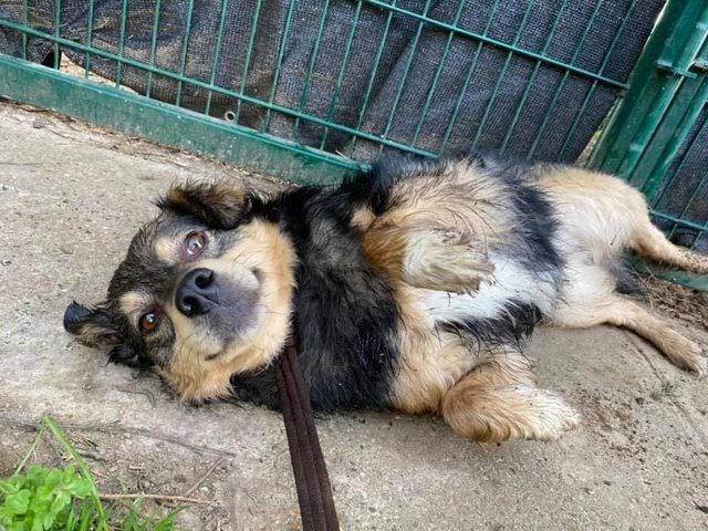Bobo – 4 year old male Spaniel Cross