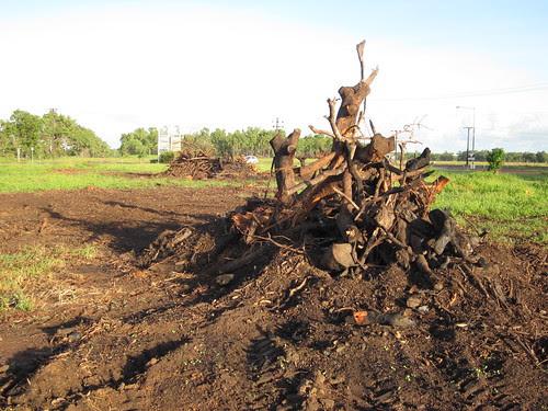 mango stumps burned