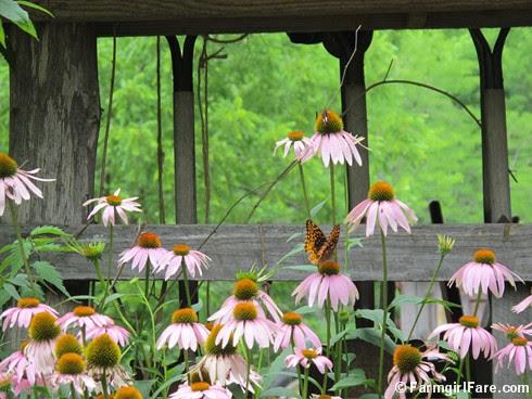 (18) Butterflies love echinacea - FarmgirlFare.com