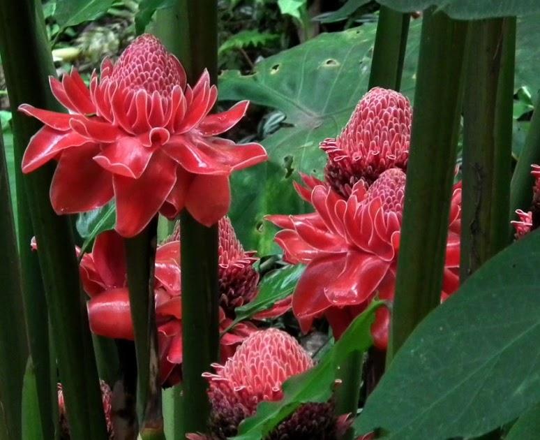 Gambar Bunga Kecombrang Gambar Bunga
