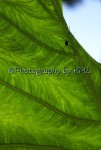 large green leaf with a big spider