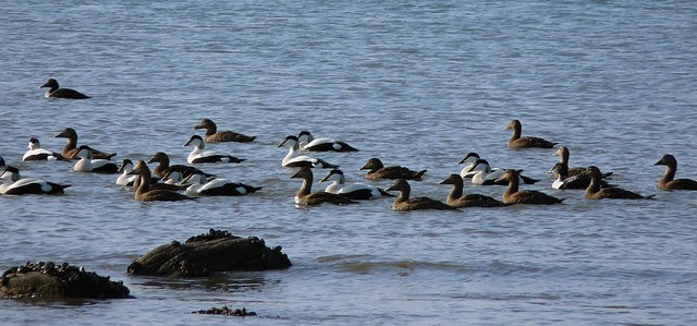 25539 - Eider, Whitford Point, Gower