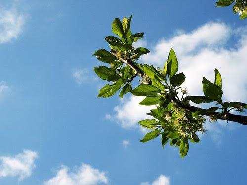 {cherry tree}