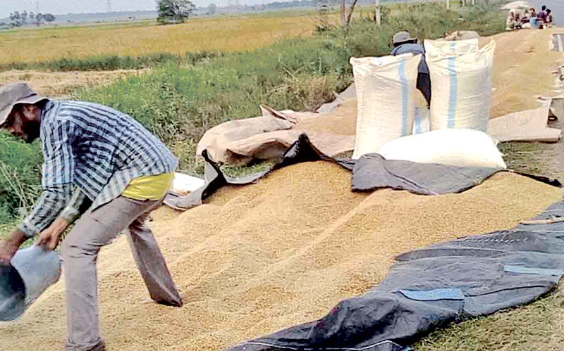 Although harvesting of the Maha crop has begun, farmers in the Ampara district say the Paddy Marketing Board has not taken any steps to purchase their rice, compelling them to sell their produce at a cheaper rate to private traders. Picture by Ravindra Medagedara, Ampara Group Corr.