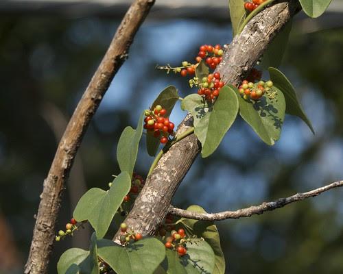 Carolina snailseed (Cocculus carolinus)