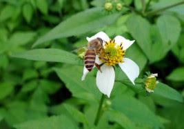 ミツバチはっち