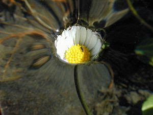 A daisy. The flower is under the water level, ...