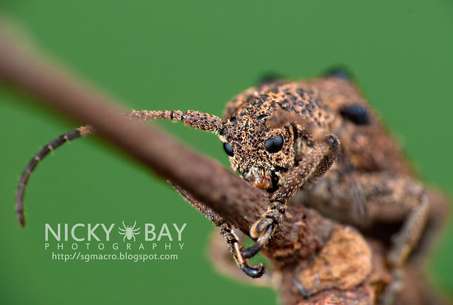Longhorn Beetle (Cerambycidae) - DSC_1983