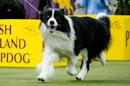 Top dog to fetch 'Best in Show' prize at New York Westminster Show