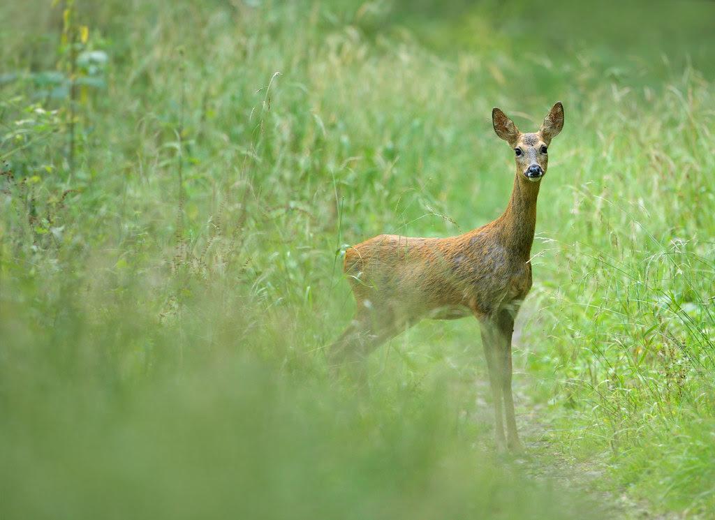 Roe deer in woodland