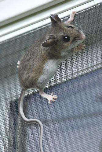 Deer mouse (13)