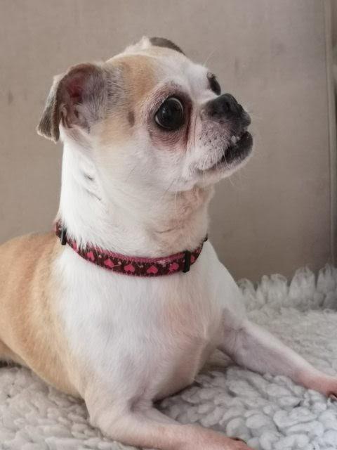 Bella – 6 year old female Pug cross Chihuahua