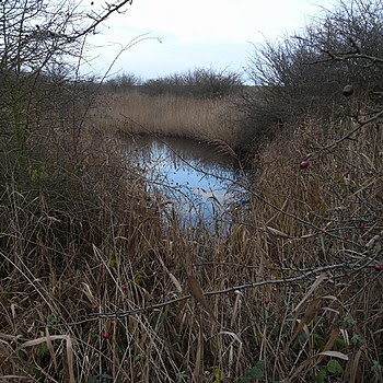 English: Dark Pool in the Reedbeds, Barrow Haven