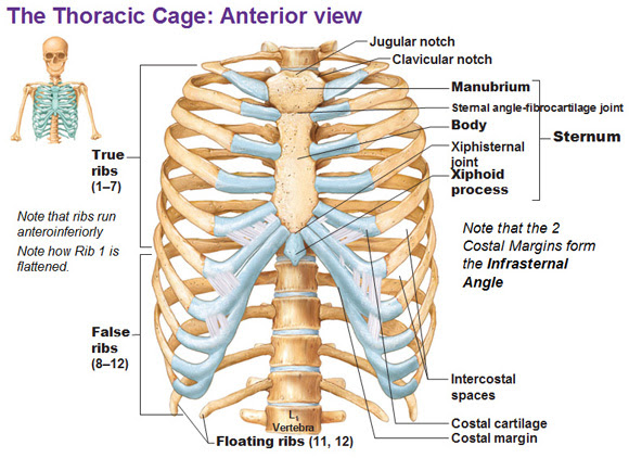 Thoracic Cage Ribs Fontanelles
