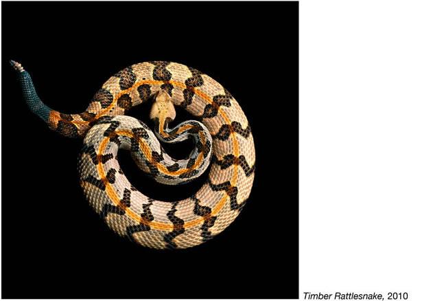 Mark Laita фотографии змей 5 (628x438, 41Kb)