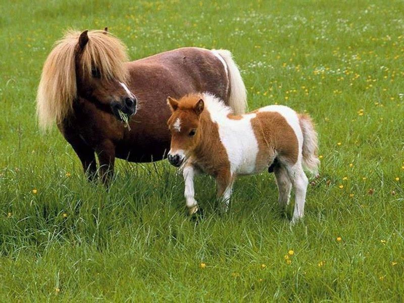 Dünyanın En Küçük At Türü Falabella