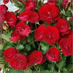 Rosa 'Adventure' - Róża