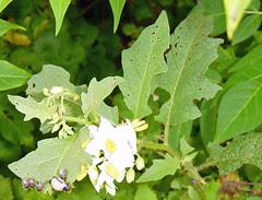 Potato beetle larvae on weed