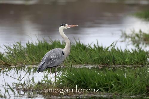 Hunting Heron by Megan Lorenz
