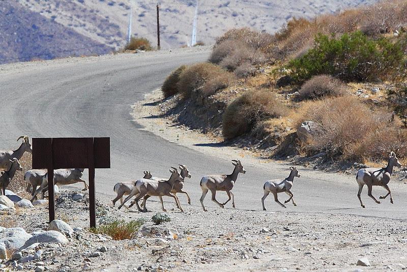 IMG_4853 Desert Bighorn Sheep