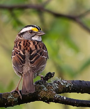 White-throated Sparrow, Réserve naturelle des ...