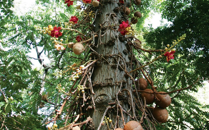 Cannonball tree, by Douglas Peebles Photography, Alamy, fruit grows directly on the trunk