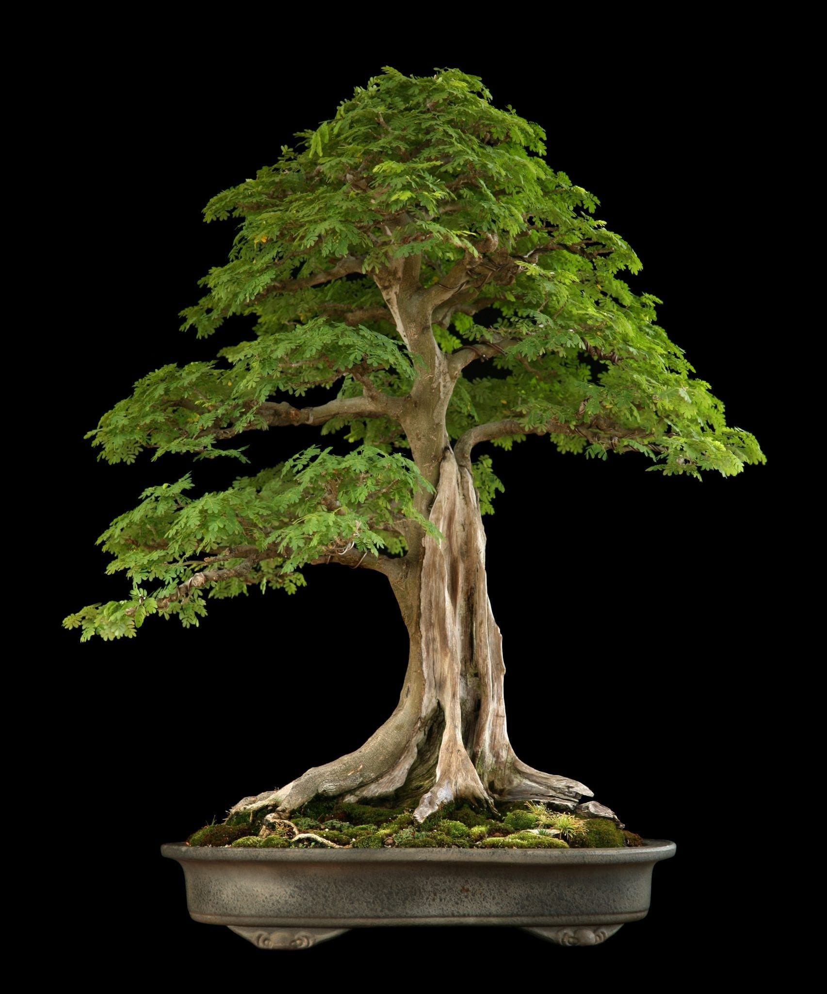 tropical bonsai tree