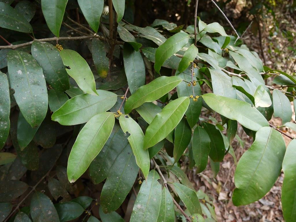 Salacia Oblonga Efloraofindia