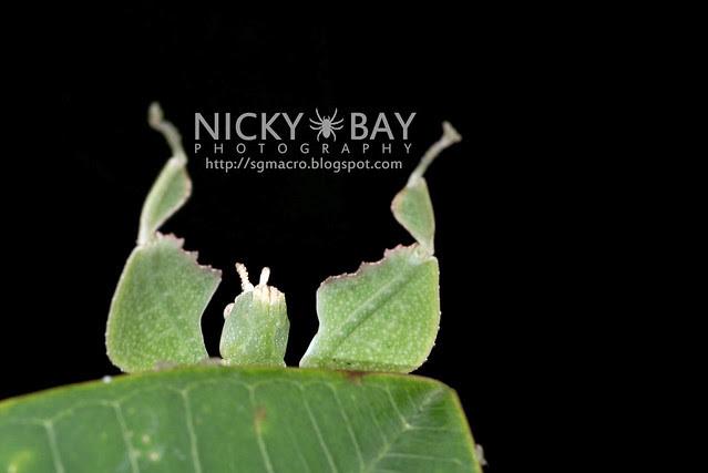 Gray's Leaf Insect (Phyllium bioculatum) - DSC_4938