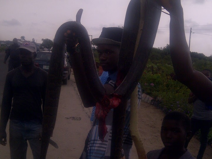 Huge Python Killed Along Lekki/epe Express Road This Afternoon (pics)