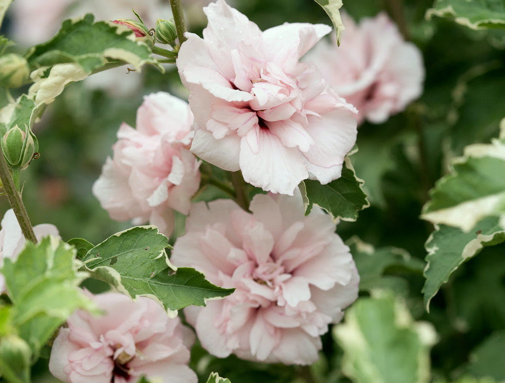 Any Rose Of Sharon Shrub Varieties That Arent Invasive Pennlivecom