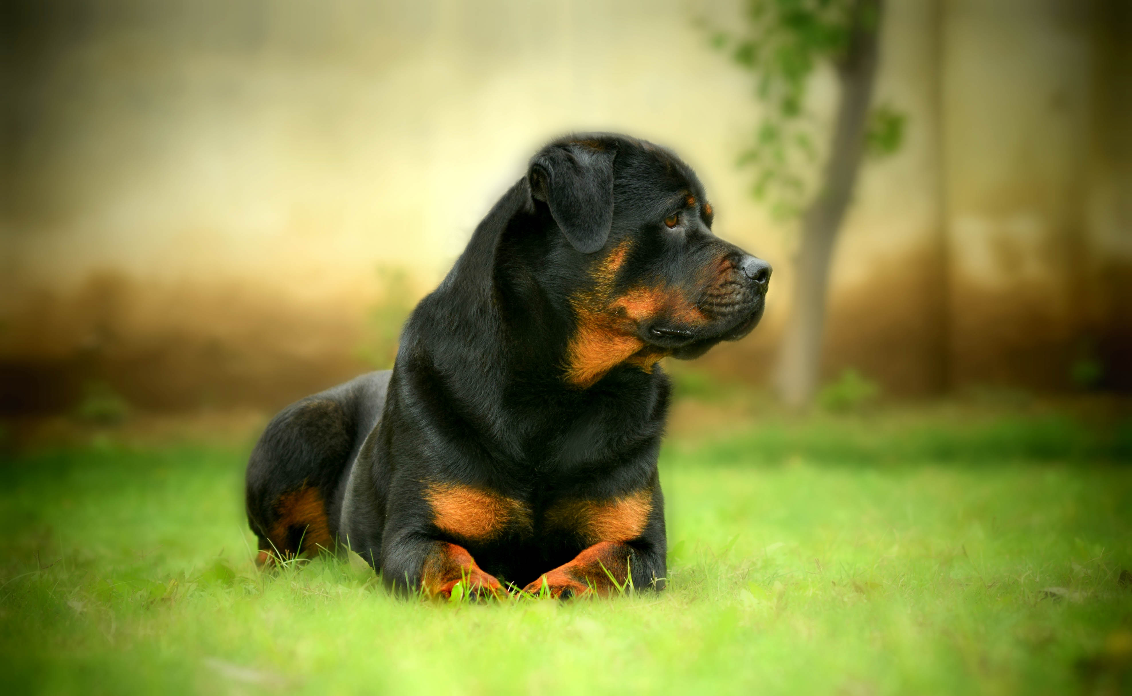 Rottweiler Awesome HD Wallpapers ,Backgrounds In High ...