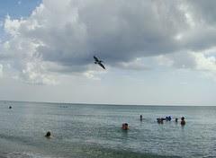 Brown pelican over swimmers
