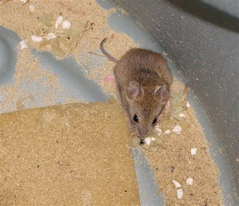 Altiplano grass mouse images