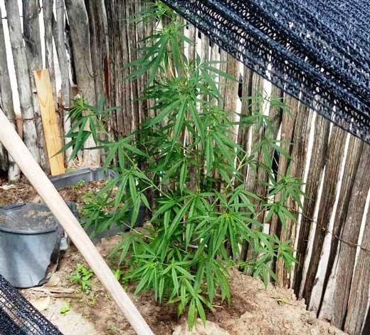 Pés de maconha estavam no quintal de casa no povoado de Junco, em Valente (Foto: Adriano Silveira/Arquivo pessoal)