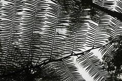 Bali - am Nungnung-Wasserfall (39) unter Baumfarn (dendroaspis2008) Tags: trees bali tree indonesia rboles boom arbres rbol albero bume arbre rvore baum trd indonesien aa   baumfarn