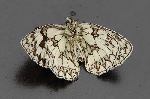The underside of a dead Marbled White butterfly
