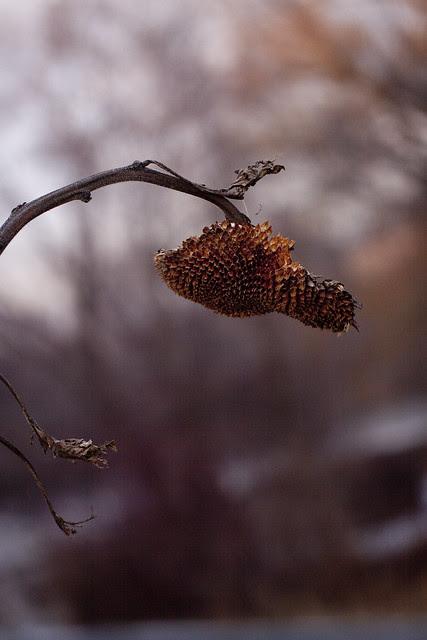 sunflower head in January4