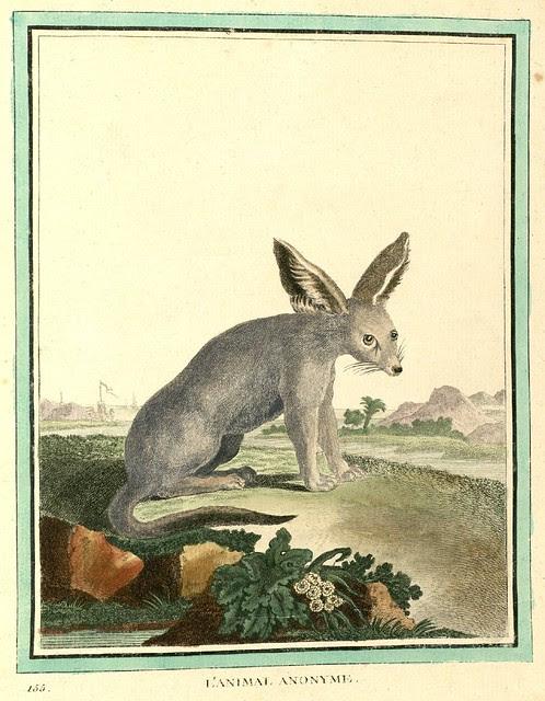 Long-eared mammal
