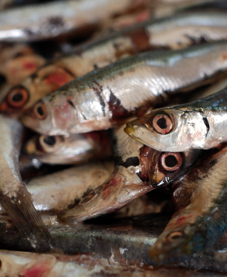 fresh anchovies© by Haalo