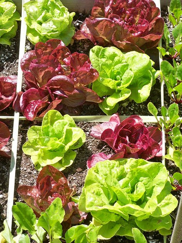 Heirloom lettuce Merveille des quarte daisons and Gotte jaune d'or.